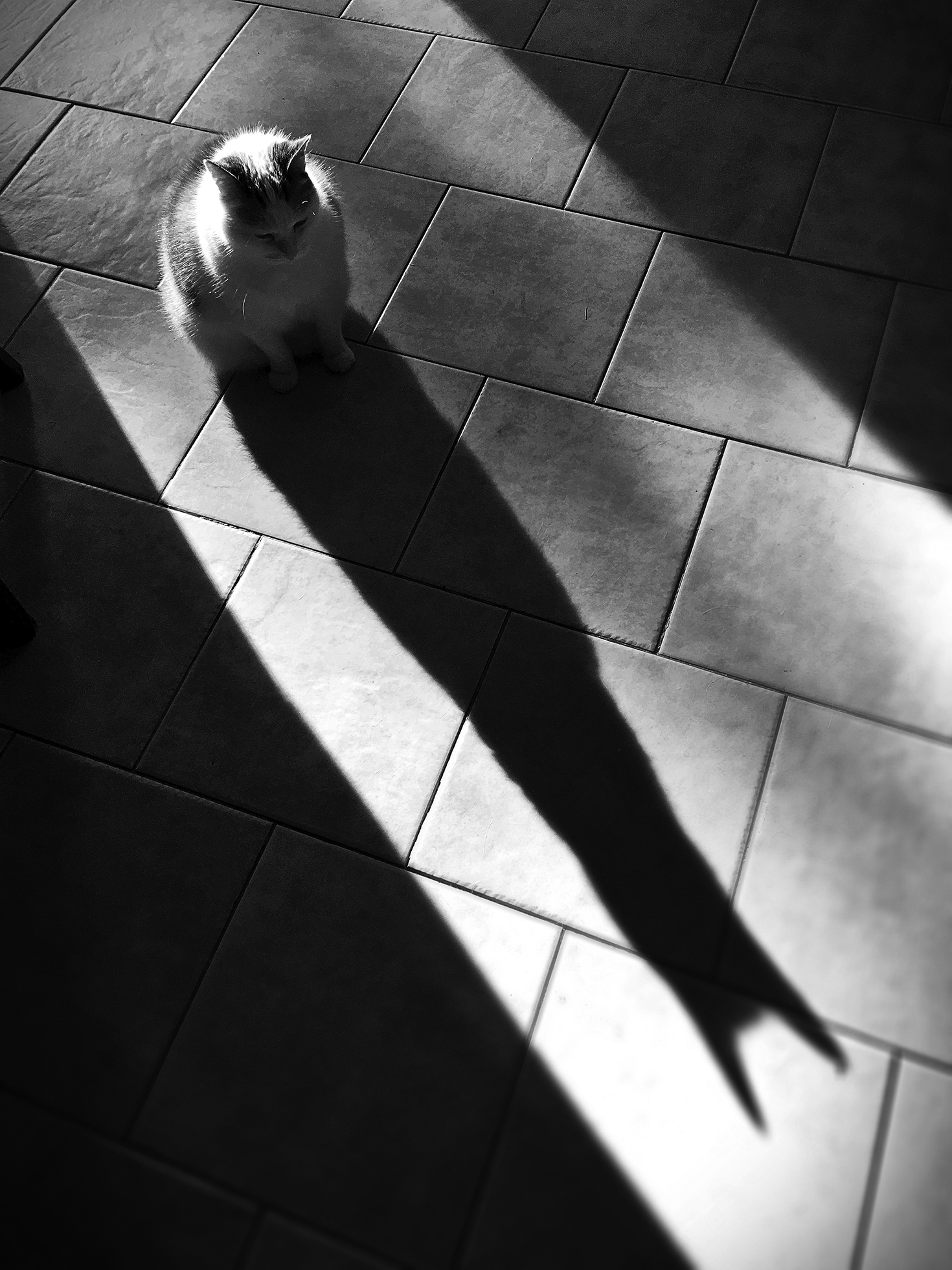 A cat sits in the middle of a sunbeam. Its shadow looms large in front of it.