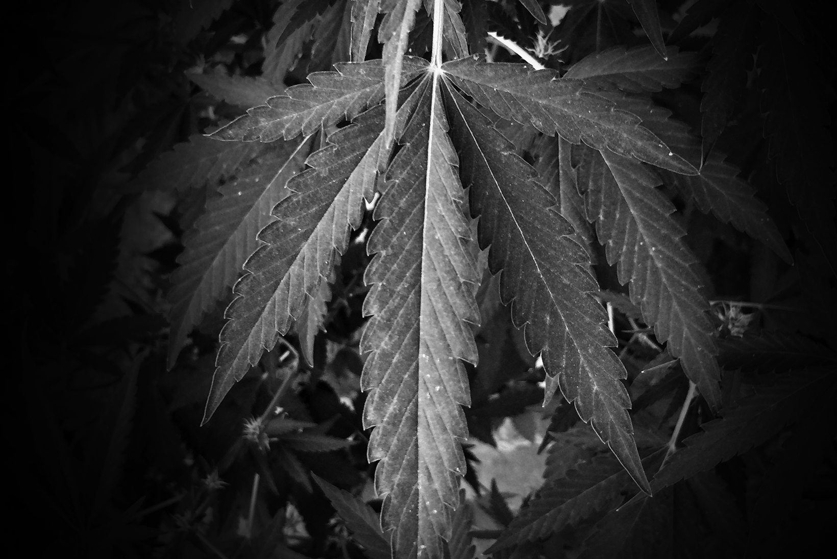 A close-up of a marijuana leaf. The rest of the background is blacked out by a dark vignette.